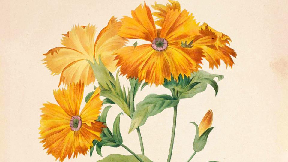 皮埃尔.约瑟夫·雷杜德的植物图谱